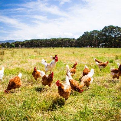Is the Chicken Industry Rigged?